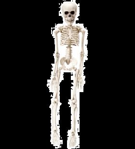 Skjelett, 50 cm
